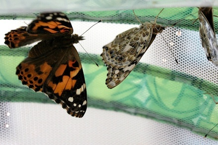 Butterfly Life Cycle Raising Kit